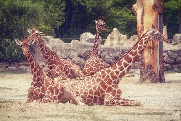 Hälsemeer - Tierpark Hellabrunn - ©zoo-o-grafie - AWa