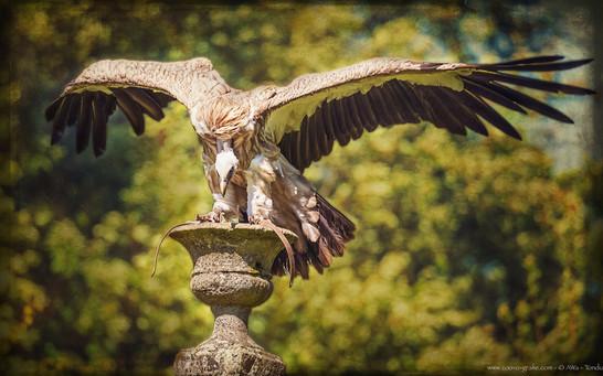 Geiertanz - Wildpark Schloss Tambach - ©zoo-o-grafie - AWa