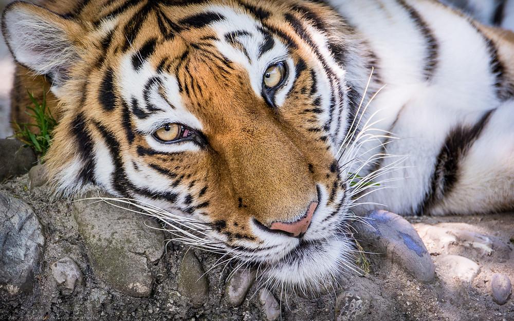 Ahimsa (Tierpark Hellabrunn - München) - © zoo-o-grafie