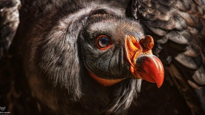 Poncho - Tierpark Berlin - ©zoo-o-grafie - AWa