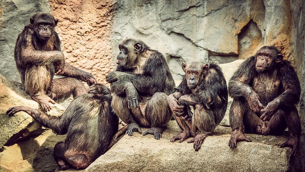 Schimpansen im Tierpark Hellabrunn - München - © zoo-o-grafie