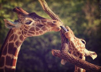 Zungenspiele - Tierpark Hellabrunn - ©zoo-o-grafie - AWa