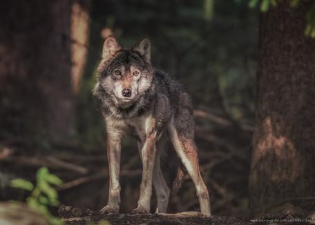 Wolfswelten - Tierpark Hellabrunn - ©zoo-o-grafie - AWa