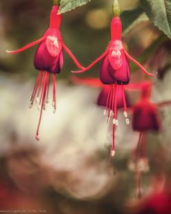 Rote Glöckchen - Botanischer Garten München - @zoo-o-grafie - AWa
