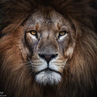 King Max - Tierpark Hellabrunn - ©zoo-o-grafie - AWa