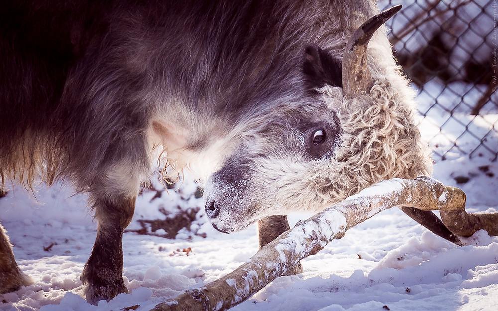 Yakbulle - Tierpark Hellabrunn - © zoo-o-grafie