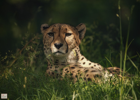 Ruhender Renner  - Kölner Zoo - ©zoo-o-grafie - AWa