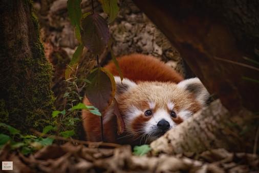 Niemand sieht mich! - Tierpark Hellabrunn - ©zoo-o-grafie - AWa