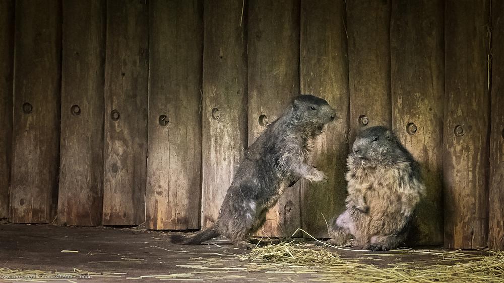 Murmeltiere - Tierpark Hellabrunn - ©zoo-o-grafie