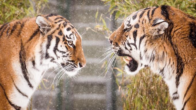 Tigertalk - Tierpark Hellabrunn - ©zoo-o-grafie - AWa