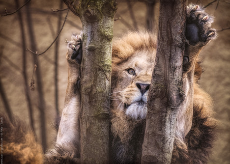 Frechlöwe - Tierpark Hellabrunn - ©zoo-o-grafie - AWa