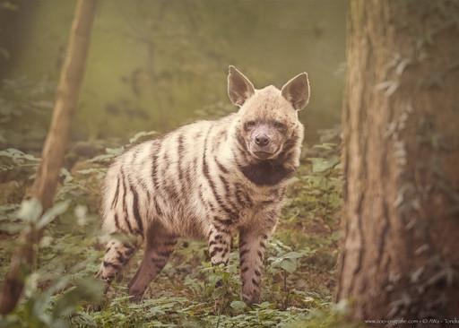 Streifenkrieger  - Zoo Augsburg - ©zoo-o-grafie - AWa