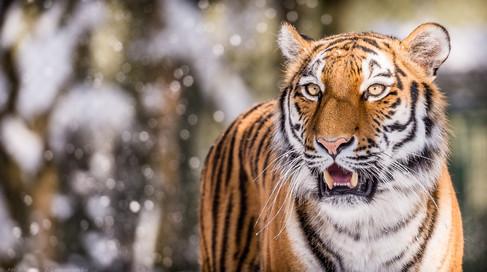 Winterkatze - Tierpark Hellabrunn - ©zoo-o-grafie - AWa