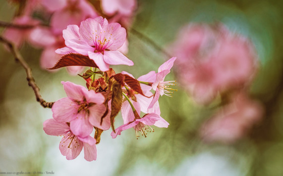 Sakura - Botanischer Garten München - @zoo-o-grafie - AWa