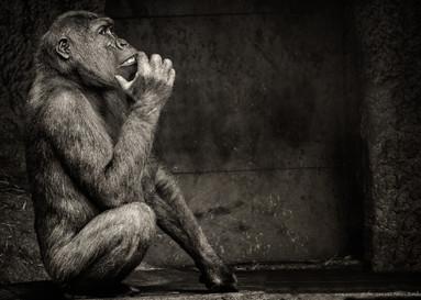Der Denker - Tierpark Hellabrunn - ©zoo-o-grafie - AWa