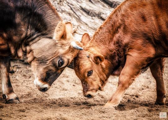 Fight - Tierpark Hellabrunn - ©zoo-o-grafie - AWa