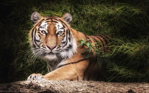 Auf der Jagd - Tierpark Hellabrunn - ©zoo-o-grafie - AWa