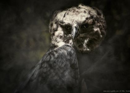 Lorenzo el Magnifico - Tiergarten Nürnberg - ©zoo-o-grafie - AWa