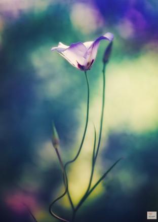 Psychedelische Tulpen - Botanischer Garten München - ©zoo-o-grafie - AWa