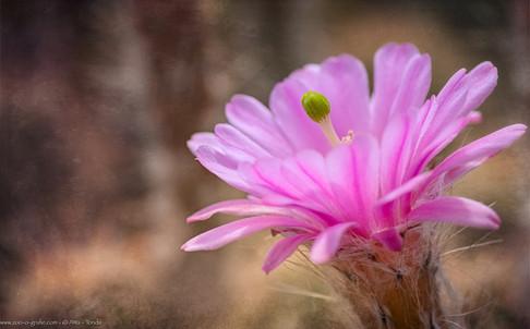 Kaktusblüte - Botanischer Garten München - @zoo-o-grafie - AWa