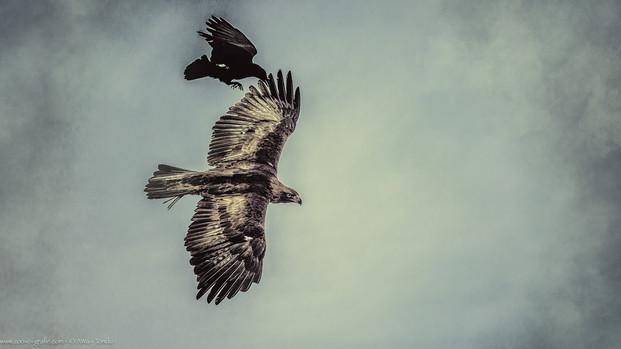 Jagdszene mit Adler - Tierpark Hellabrunn - ©zoo-o-grafie - AWa
