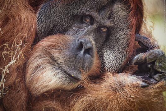 Remember the king - Tierpark Hellabrunn - ©zoo-o-grafie - AWa