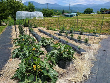 自家農園で高原野菜を育てています