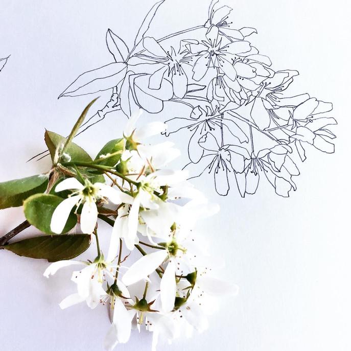 amelanchier drawing