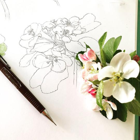 apple blossom drawing