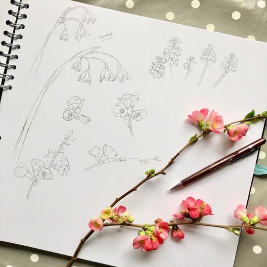 chaenomeles drawing