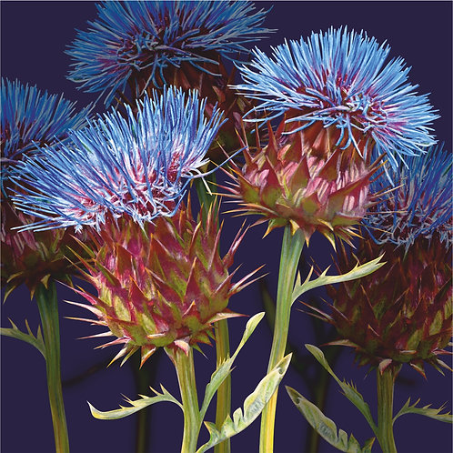 Flower Art / Floral Greeting Card 'Scottish Thistle'