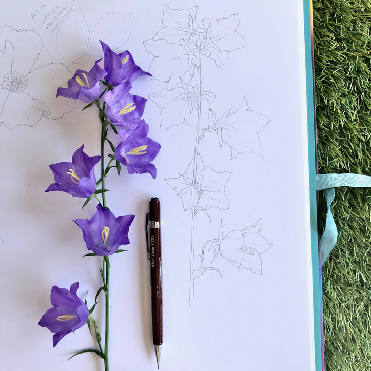campanula drawing
