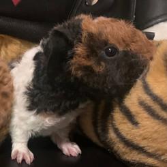 Tiger Teddy Piggies