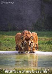 Animals drink surface water
