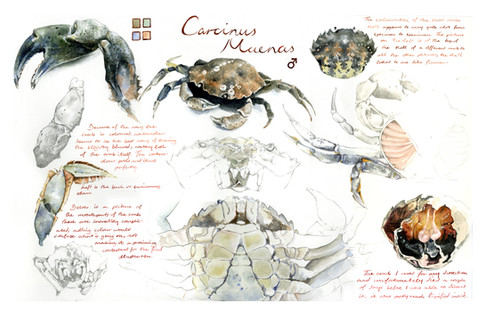 1 crab study sheet2.jpg