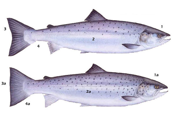 Chart showing difference between Sea Trout and salmon