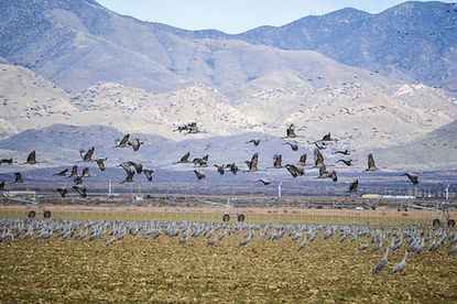 Willcox Playa Cranes (sm).jpg