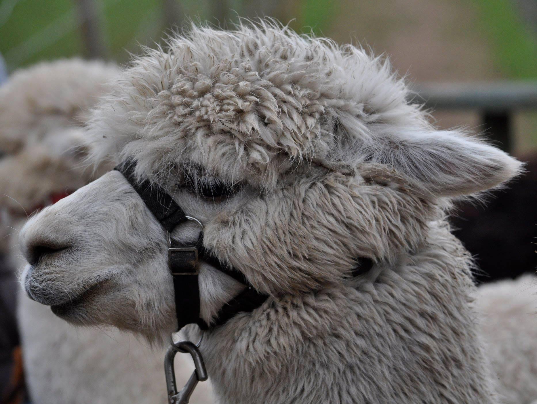 Combined: Alpaca, Meerkat