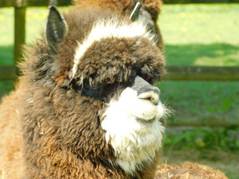 Combined: Alpaca, donkey