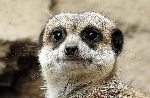 Meerkat-1-650x425.jpg