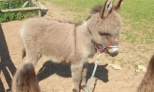 Miniature Donkey Experience