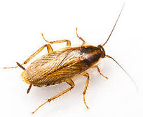 cockroach2german.jpg