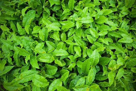 tea plantation_beye3.jpg