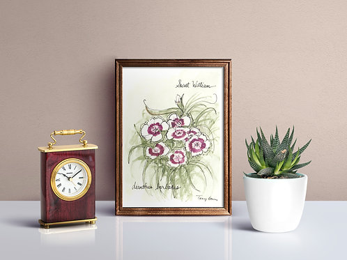 Sweet William Wildlower Print - Reproduced Print of Original Art ($8-$18)