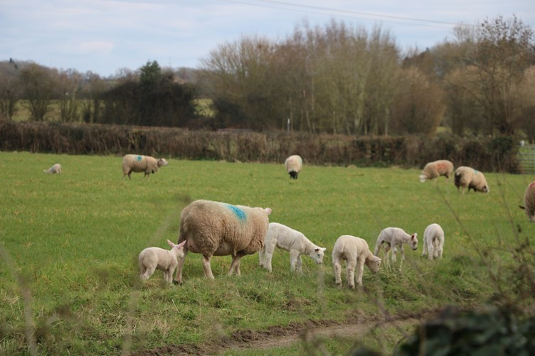 Sheep and the lambs for neighbours