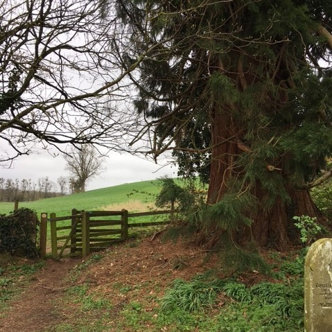 A Giant Redwood Tree on the edge of Bridstow churchyard