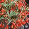 Begonia BossaNova