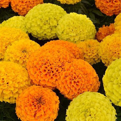 Marigold-Full Flat