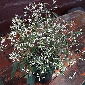 Euphorbia-Full Flat