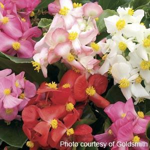 Begonia Fibrous-Full Flat